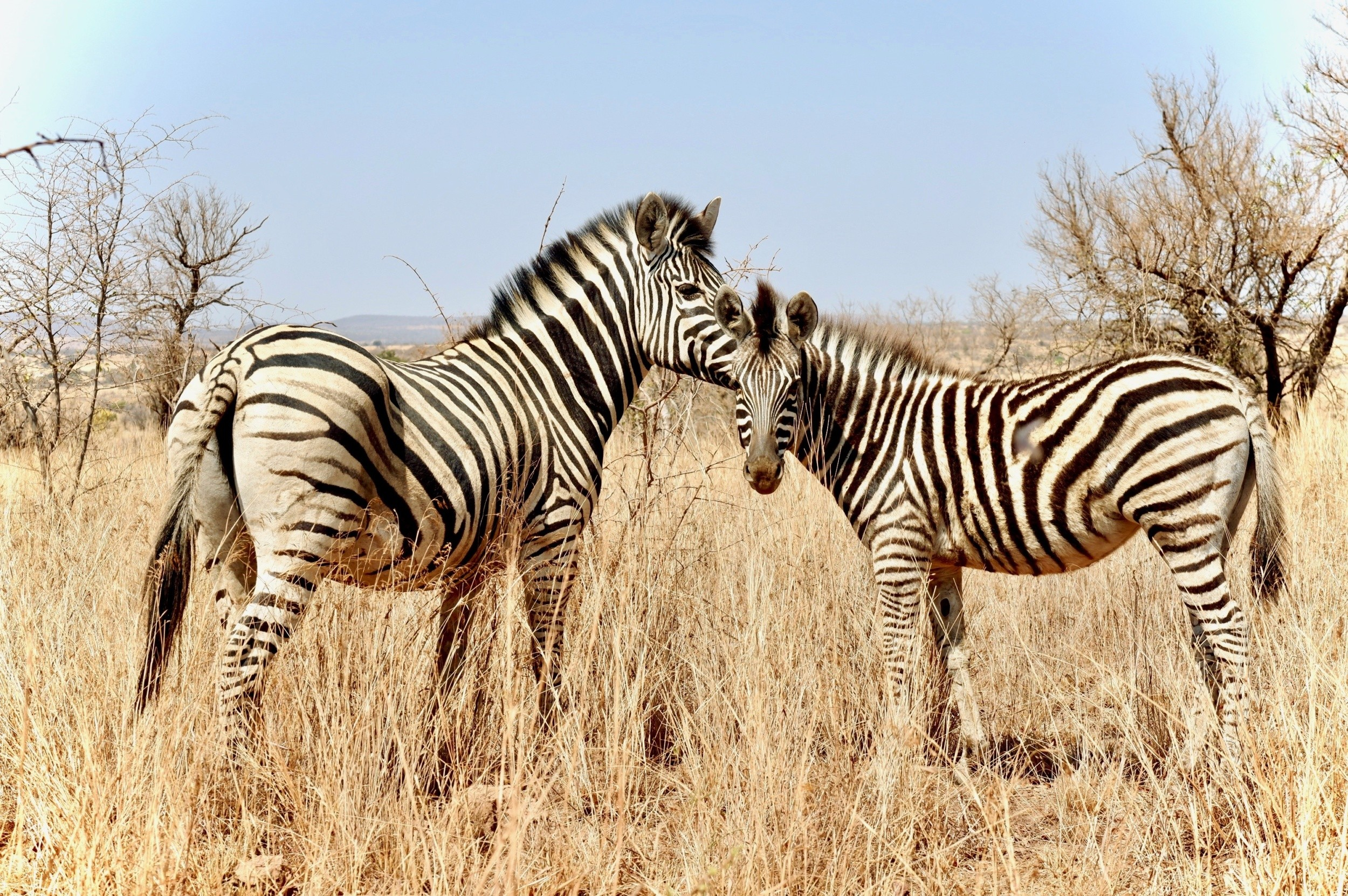 See Zebras At The Dinokeng Nature Reserve